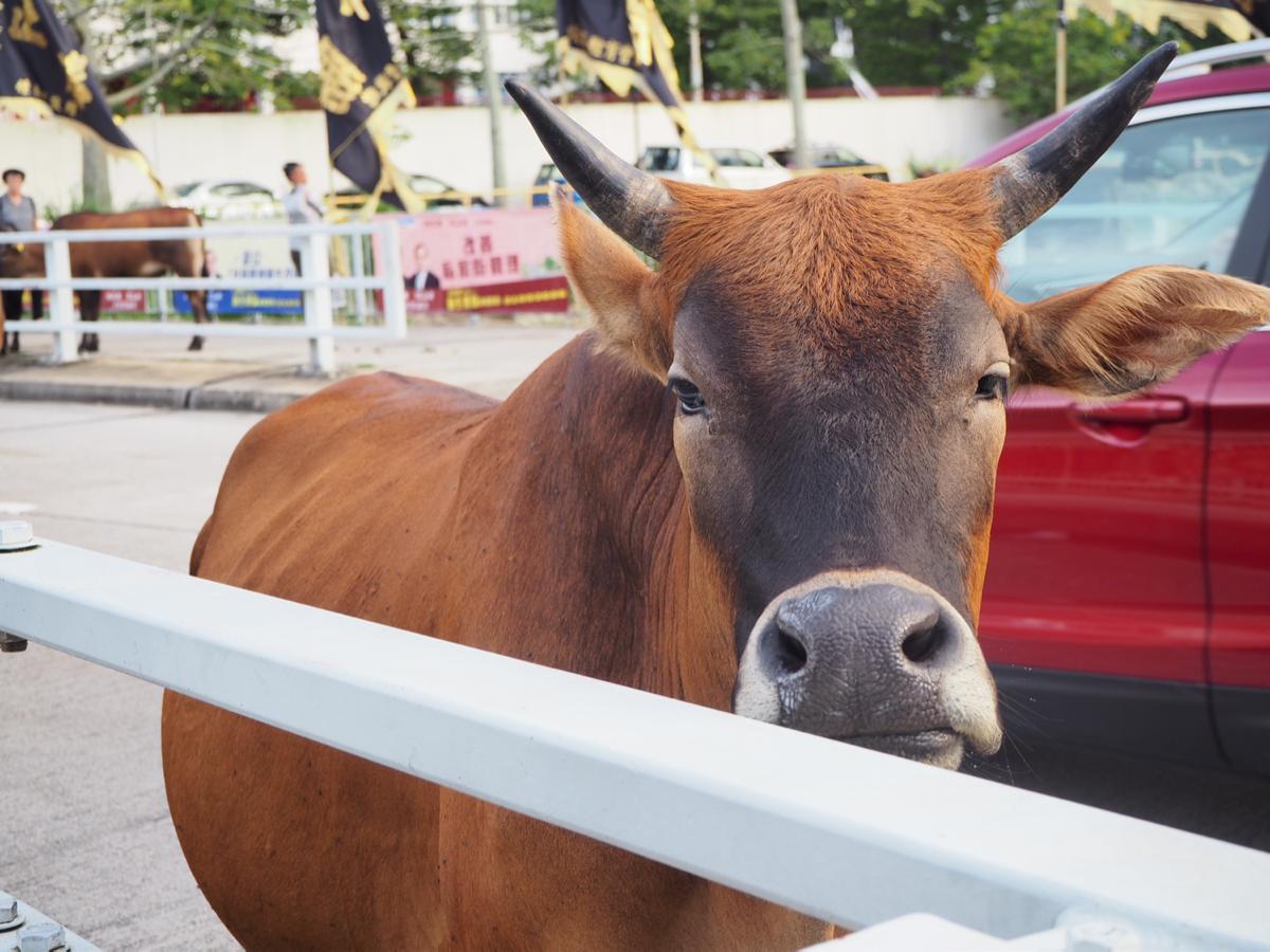 梅窩の街を牛を避けながら車で走るのは大変そう