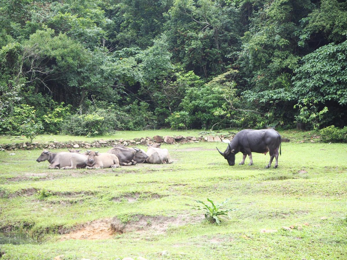 ランタオ島の貝澳(Pui O)から梅窩(Mui Wo)まで、野生の牛の生息地を歩いた