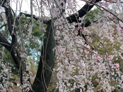 3年振りの日本の桜は本当に綺麗だった