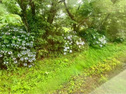 10年振りの紫陽花